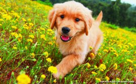 golden-puppy-life-national-geographic-ftr-1
